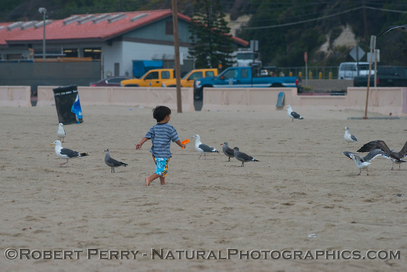 boy chasing Larus 2012 09-13 Zuma-045