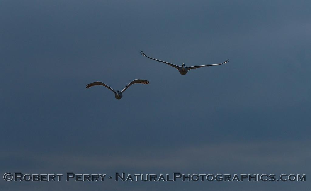 Pelecanus occidentalis flight & sun and clouds 2013 01-10 Zuma-001