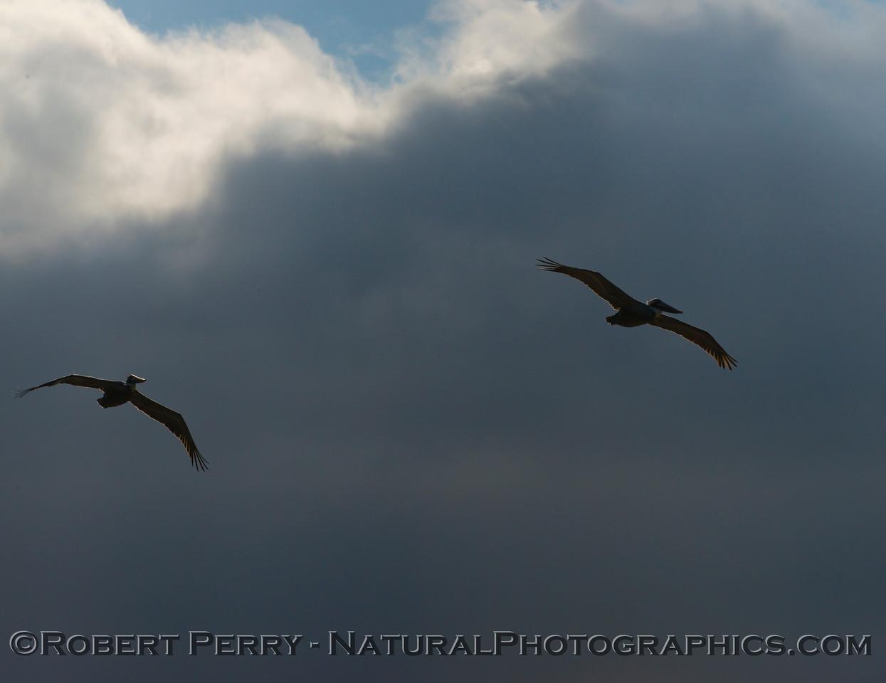 Pelecanus occidentalis flight & sun and clouds 2013 01-10 Zuma-004