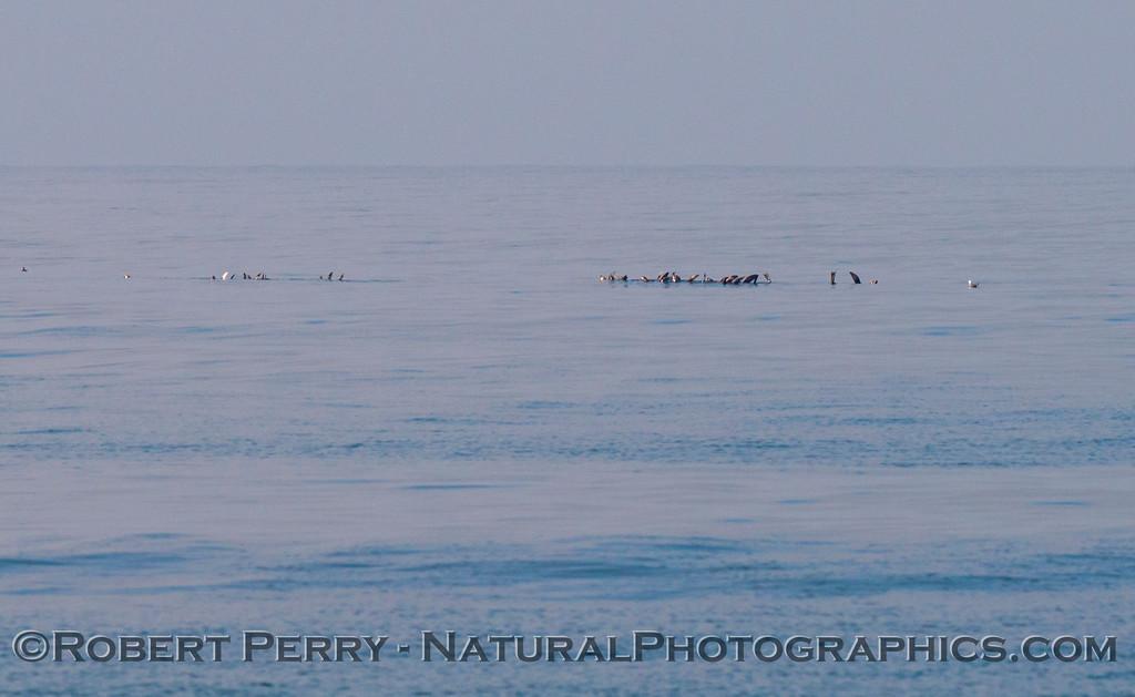 Zalophus rafts offshore 2013 02-07 Zuma-003