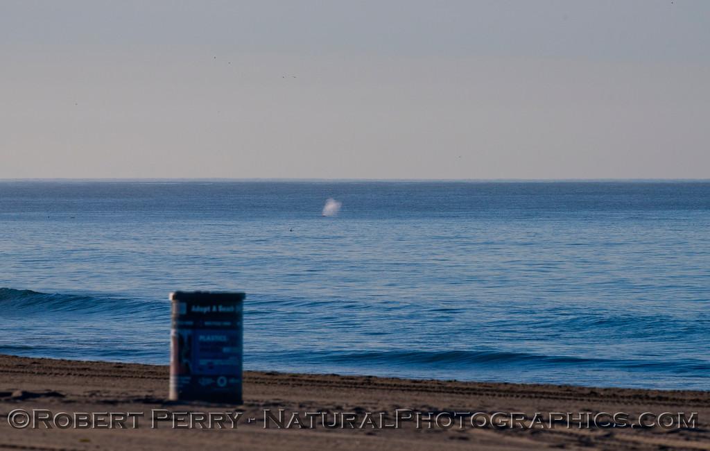A southbound gray whale (<em>Eschrichtius robustus</em>).