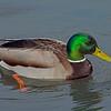 Mallard Duck, (Anas platyrhynchos)