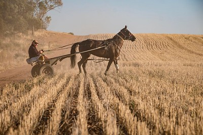 Trainer, Greg Ryan and 'Five Fours' training in a wheat paddock at Manangatang, in Victoria's Mallee
