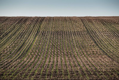 A field of newly sown wheat starting to sprout between lines of dry wheat stalks from the previous years harvested crop, near Sea Lake in the Mallee region, Victoria, Australia