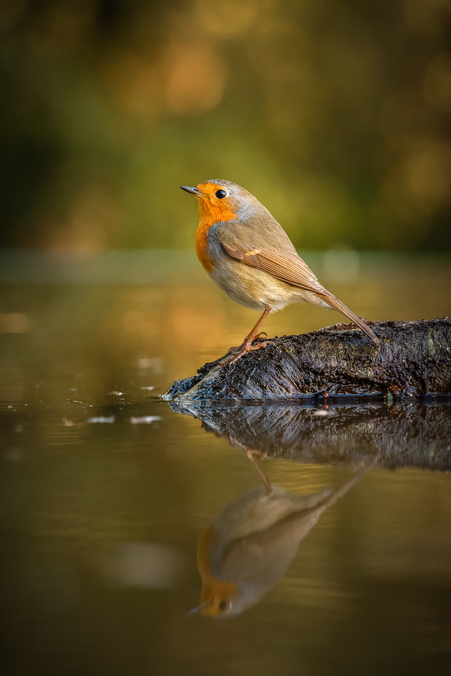 European Robin reflected 160214