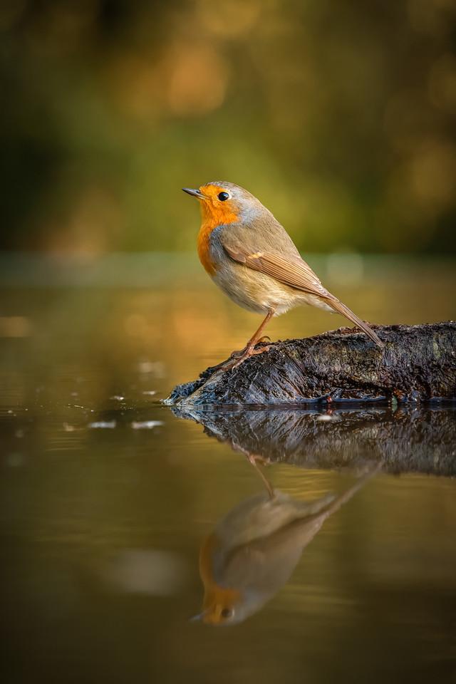 European Robin reflected 160214