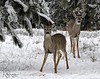 White Tail Deer Fawn and Buck - Spokane, Washington