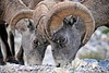 Big Horn Sheep - Licking minerals from the rocks