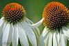 Echinacea Love