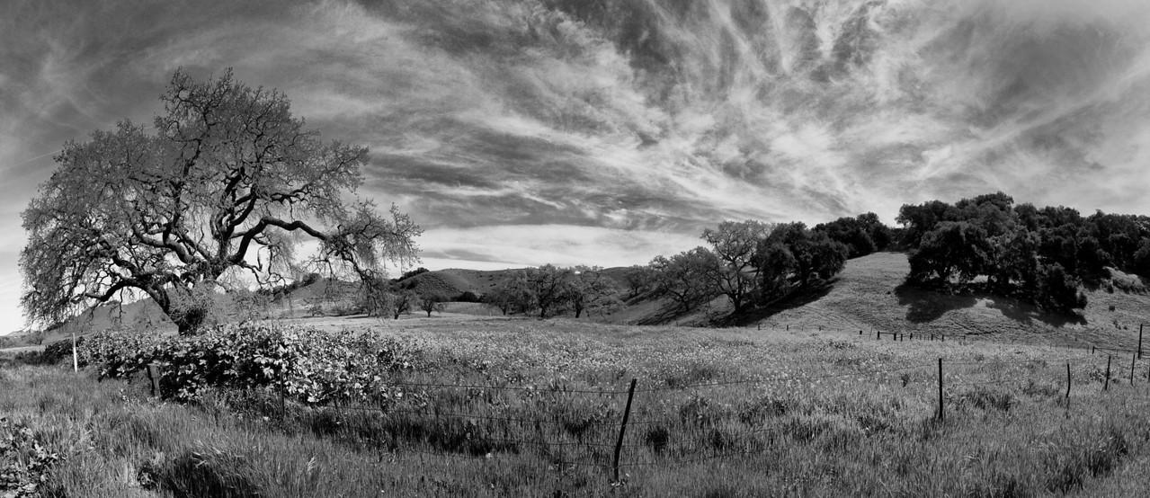 Oak Tree Panorama, Figueroa Mountian Road, Los Olivos, California