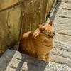 Gozo Cat