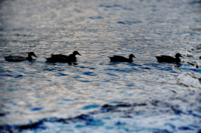 Ducks in Xlendi Bay. 2018.