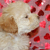 """PUPPY NUMBER # 998<br /> My new name is: CALLIE<br /> Sold to: PATTI ENGLERT<br /> Date Sold: JANUARY 2009<br /> Sold to Waiting List Customer: PATTI ENGLERT<br /> FROM: ALLENHURST, NJ<br /> BREED: MALTIPOO<br /> SIZE: TINY TOY<br /> SEX: FEMALE<br /> COLOR: LIGHT APRICOT<br /> DATE OF BIRTH: 11-27-08<br /> COAT TYPE: SOFT WAVY CURLS<br /> Starting Price was: $1875.00<br /> Sold for $ 1875.00 thru our make an offer form.<br /> Pet Boutique sales representative: CHRISTY<br /> If you purchase a puppy in this photo gallery and would like for us to add your puppy's name and comments to the puppy you have purchased. <br /> Send an e-mail with your full name, puppy's name and puppy number to us along with any comments you would like to add to your puppies photo.<br /> You may also send photos of your family members with or without puppy and we will add it to your puppy's photo gallery. ==== ( TeacupPets@TexasTeacups.com ) ====<br /> <br /> Click the ( BUY or BUY THIS PHOTO ) icon to purchase this photo. <br /> Photos start at 39 cents and are available in Wallets, 8 X 10, 5 x 7, Key Chains, Luggage Tags that can be used on pet crate or carrier when traveling, Mouse Pads, Back Packs, Coffee Mugs, T-Shirts Calendars and more. <br /> Photos in this gallery may be deleted at anytime as we make room for new puppy pictures. <br /> <br /> This Photo is copyright protected by:  <a href=""""http://www.TexasTeacups.com"""">http://www.TexasTeacups.com</a>"""