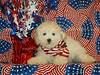 PUPPY NUMBER ( # MP-TOY-194-CL-G-3 )<br /> BREED: Malte Poo<br /> PRICE: $ 975.00<br /> SIZE:  Large Toy <br /> COAT: This puppy has Soft  teddy bear curls.Mom was a maltese Dad was a poodle.<br /> COLOR: Cream with Apricot ears<br /> SEX: Male<br /> DOB:4-10-06