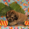 X Sold to Jeana Marie Hamilton of Emporium PA 3-21-06      2nd PRICE REDUCTION!!!!! SPECIAL PRICE!!!!!  PUPPY NUMBER ( # Peek A Poo FEB -64- 2006 )<br /> Breed: Peek A Poo<br /> SIZE: Small Toy<br /> SEX: Male<br /> PRICE: $975.00<br /> This price includes shipping thru Continental Airlines.<br /> Description: IS this not totally ADORABLE? He is the prettiest little thing with a personality to boot.These puppies will have the tiny little short legs and short bodies. Combine that with the little stubby nose and you have the cutest little guys you have ever seen!
