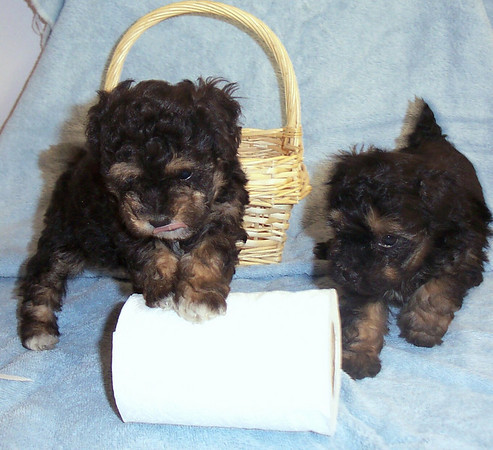 1997 MALTIPOO Sold Photo and Videos