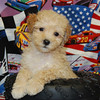 PUPPY NUMBER # 909<br /> SOLD TO: JAY S.<br /> FROM: FORNEY, TX.           <br /> BREED: MALTIPOO                   <br /> SIZE: TOY<br /> SEX: MALE  <br /> COLOR: APRICOT<br /> DATE OF BIRTH: 07-17-2008<br /> COAT TYPE: SOFT WAVY CURLS<br /> Starting Price was: $1575.00<br /> Sold for $ 675.00 at a discounted price.<br /> Pet Boutique sales representative: CHRISTY<br /> Customer Comments:<br /> Send an e-mail to TeacupPets@TexasTeacups.com if you would like for us to include comments about your new puppy and your experience with purchasing a puppy from our pet boutique.<br /> <br /> Click the ( BUY THIS PHOTO ) icon under photo to purchase this puppy picture.<br /> Photos are available in wallets, 8 X 10, 5 x 7, on key chains, mouse pads, back packs, coffee mugs and T-Shirts and more.<br /> <br /> This Photo is copy right protected by:<br /> Teacup And Toy Pets