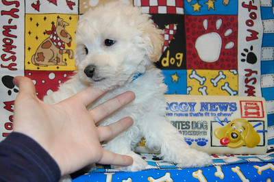 2008 MALTI POO Sold Photo and Videos PRT 1
