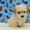 "PUPPY NUMBER # 912<br /> SOLD TO: TIFFANY C.<br /> FROM: DE FOREST, WI          <br /> BREED: MALTIPOO                  <br /> SIZE: SMALL TOY<br /> SEX: MALE  <br /> COLOR: APRICOT<br /> DATE OF BIRTH: 07-17-2008<br /> COAT TYPE: SOFT WAVY COAT<br /> Starting Price was: $1575.00<br /> Sold for $ 787.50 at a discounted price.<br /> Pet Boutique sales representative: CHRISTY<br /> Customer Comments: HIS NAME IS ""COCONUT""<br /> Send an e-mail to TeacupPets@TexasTeacups.com if you would like for us to include comments about your new puppy and your experience with purchasing a puppy from our pet boutique.<br /> <br /> Click the ( BUY THIS PHOTO ) icon under photo to purchase this puppy picture.<br /> Photos are available in wallets, 8 X 10, 5 x 7, on key chains, mouse pads, back packs, coffee mugs and T-Shirts and more.<br /> <br /> This Photo is copy right protected by:<br /> Teacup And Toy Pets"