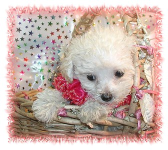2000 MALTIPOO Sold Photo and Videos