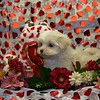 """This is """"Jasmine"""", sold to Brenda M.  of San Diego, CA<br /> BREED: MALTE POO <br /> SEX: FEMALE<br /> PUPPY HAS MORE OF A MALTESE LOOK. <br /> Brenda says, """"she is great, with a calm personality, so loving and happy."""""""