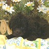 """This is """"Coco"""", SOLD TO CONNIE G. <br /> PUPPY NUMBER ( # FEB 208 ) <br /> BREED: MALTE-POO<br /> SEX: FEMALE<br /> COLOR: CHOCOLATE<br /> SIZE:  TINY TOY<br /> D.O.B. 12-29-04<br /> PRICE: $1375<br /> PERSONALITY:  SHY SWEET LITTLE GIRL <br /> CUSTOMER COMMENTS: """"She is very happy, loving and affectionate"""".<br /> PARENTS: Mother was a MALTESE & Father was a Poodle  <br /> Hair Texture: More like a Poodle, with soft curls."""