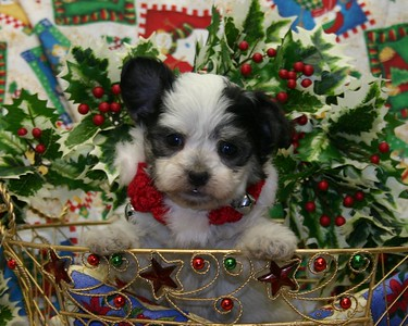 2005 MALTIPOO Sold Photo and Videos