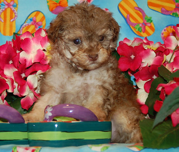 2007 MALTIPOO Sold Photo and Videos PRT 1
