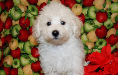 2007 MaltePoo Adopted For $675.00 Or Less