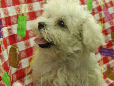 2008 MaltePoo Adopted For $675.00 Or Less