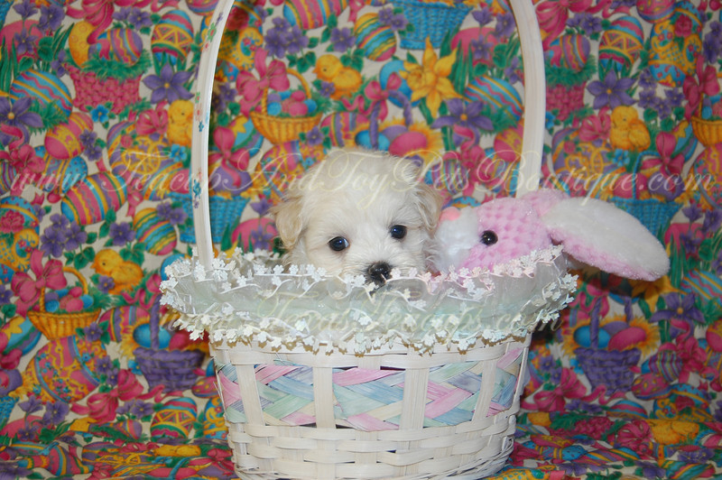 "PUPPY NUMBER # MP 2140<br /> My New Owners Name: Yasushi Family<br /> Puppy's Name: ????<br /> Date Sold : March 2010<br /> <br /> FROM: Irving, TX<br /> BREED: Maltepoo<br /> SEX: Male<br /> COLOR: Cream<br /> DATE OF BIRTH: 12/20/09<br /> <br /> COAT TYPE: Soft Wavy Curls <br /> <br /> Pet Boutique Sales Representative: Ginger<br /> <br /> ==== ( TeacupPets@TexasTeacups.com ) ====<br /> <br /> This Photo is copyright protected by: <a href=""http://www.TexasTeacups.com"">http://www.TexasTeacups.com</a>"