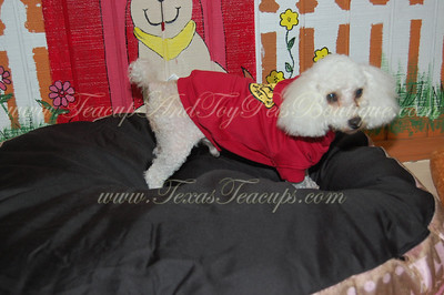 2011 MaltePoo  Adopted for $675.00 or Less