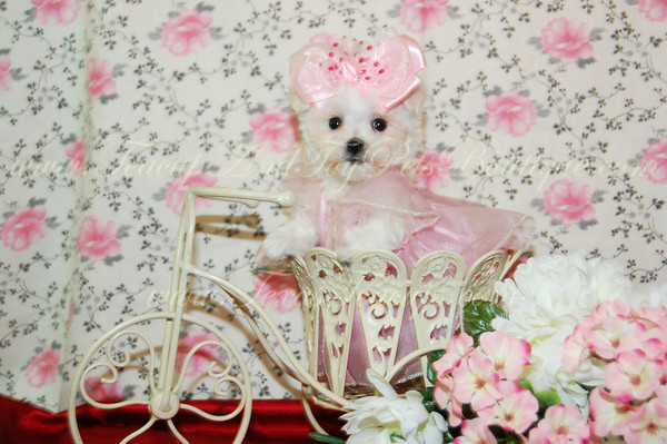 2011 MaltiPoo  Sold Photo and Videos