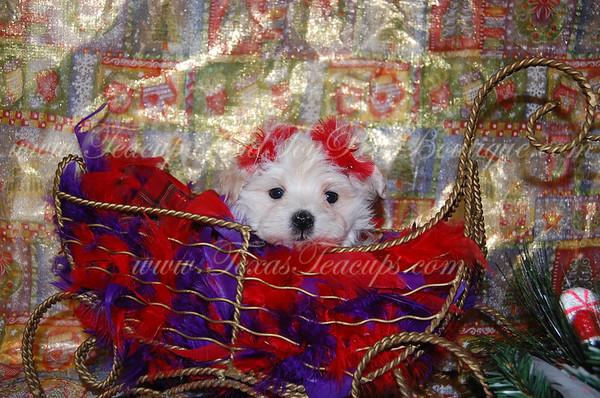 2013 MaltiPoo Puppies SOLD