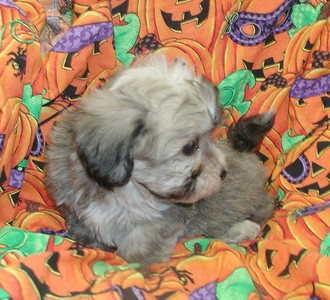 SOLD Maltipoo Puppies