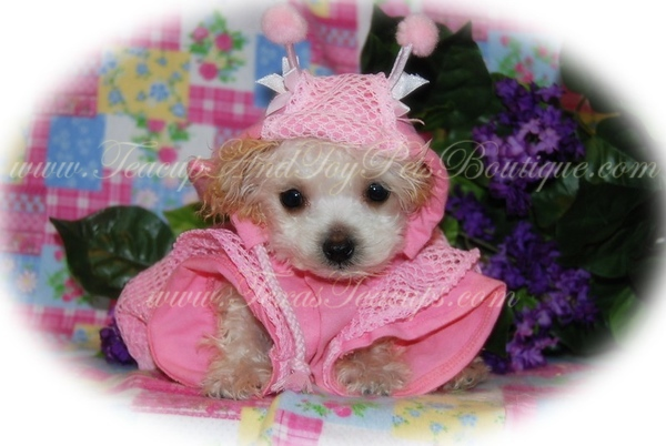 MaltiPoo Puppy Photo & Video Gallery Sold Puppies