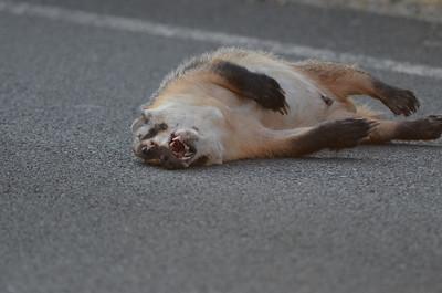 Badger (road kill)