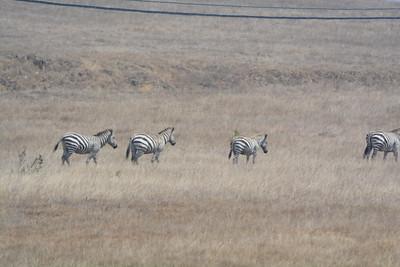 Hurst Castle Zebra's