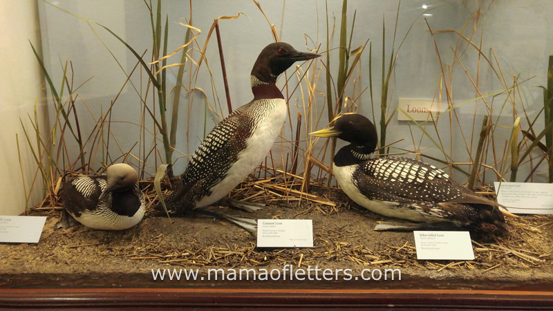 Loons are one of my favorite birds.
