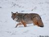 Coyote, Jasper national park(Alberta)