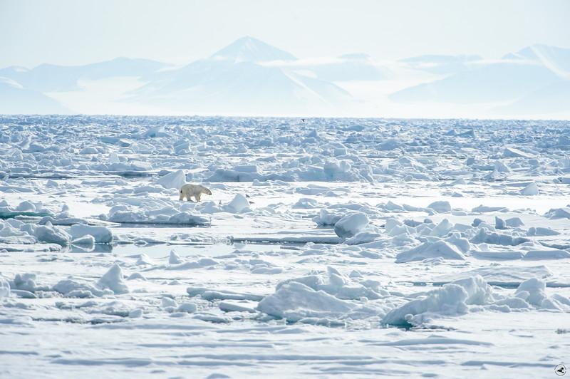 polarbear_1380