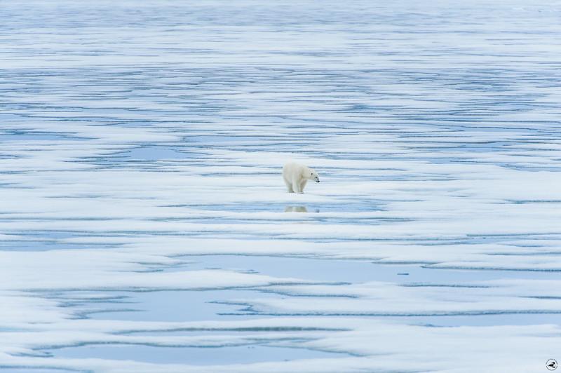 polarbear_1589