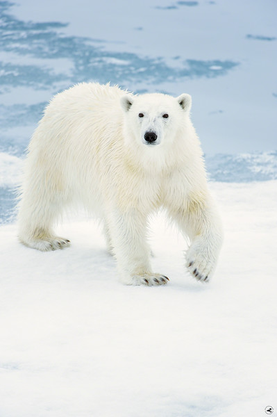 polar bear_1674