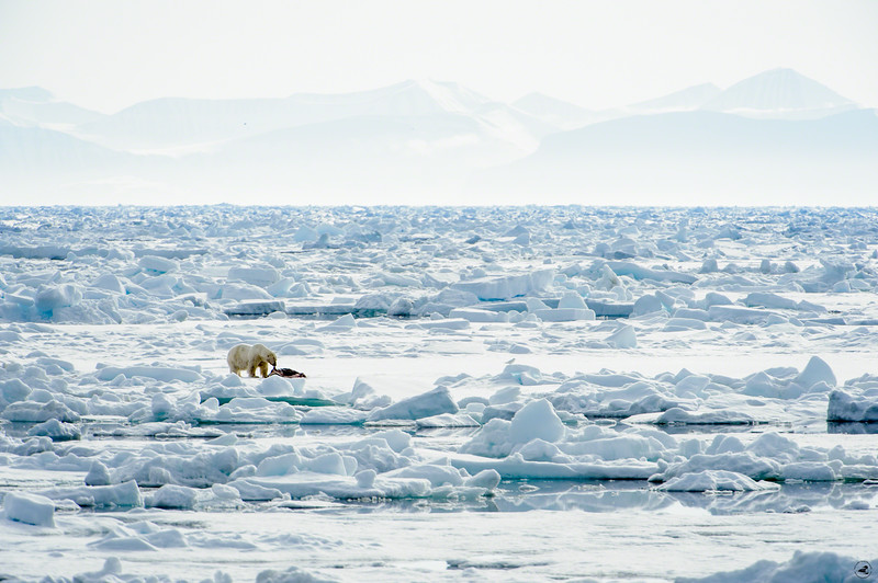 polarbear_1406