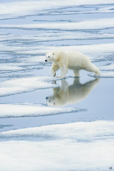 polar bear_1649