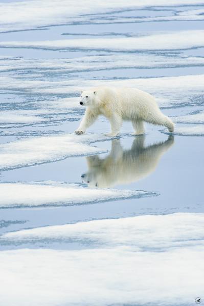 polar bear_1650