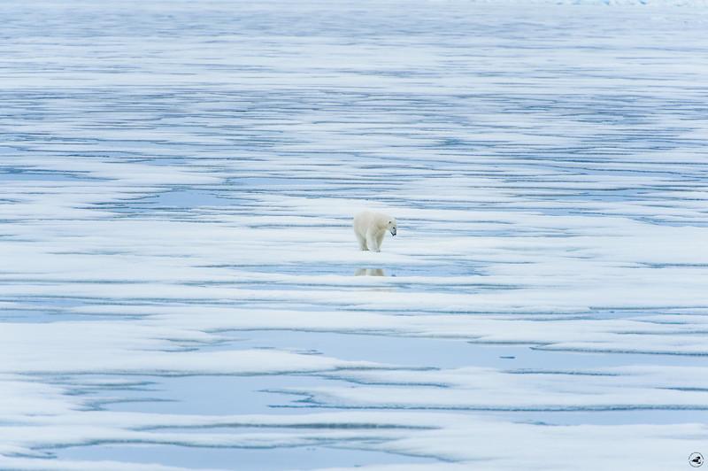 polarbear_1591
