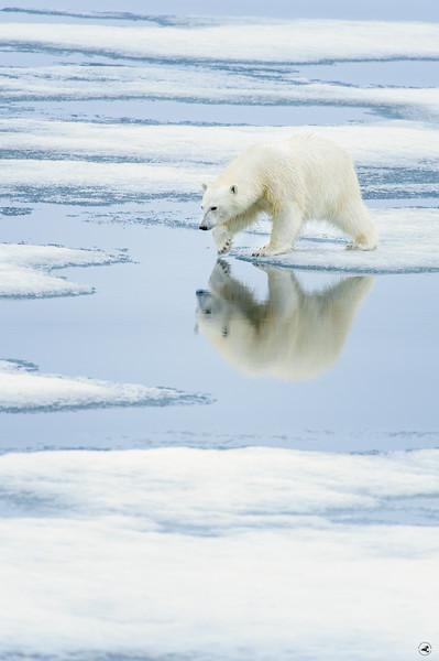 polar bear_1645