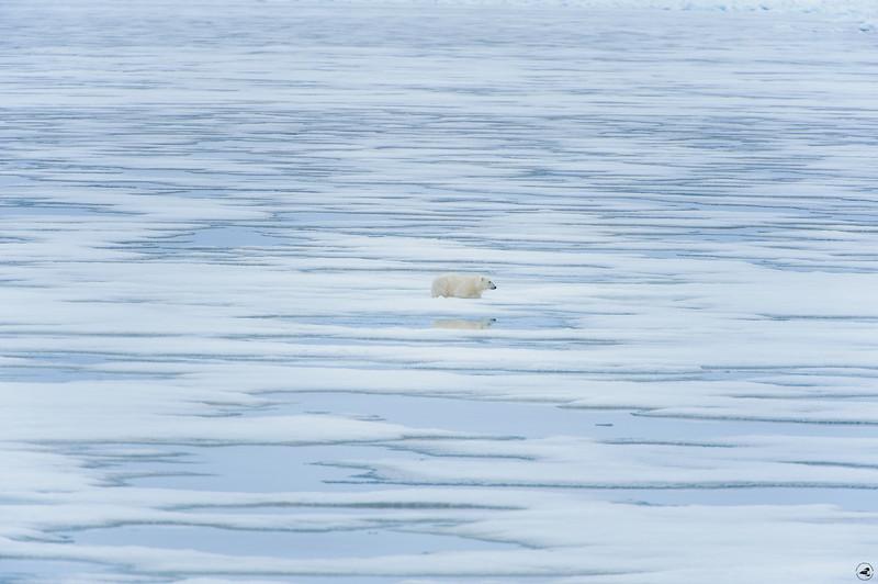 polarbear_1579