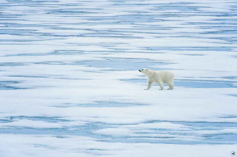 polarbear_1613